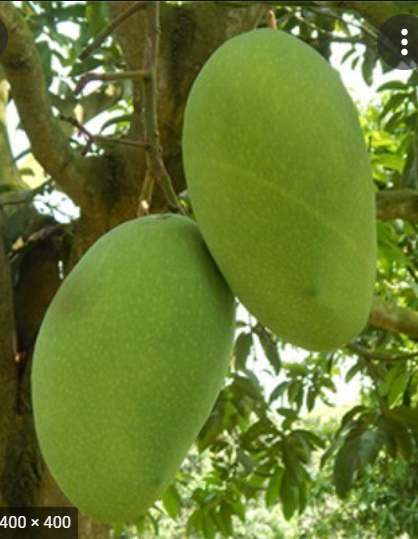 Fazli-Mango-Tukwila online Market-Germany