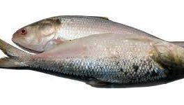 Hilsha Fish, Elish Fisch, 500-700g, per stk
