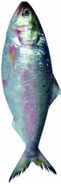 Hilsha Fish, Elish Maach, Fisch, >1.5kg