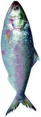 Hilsha Fish, Elish Fisch