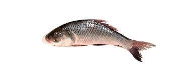 copy of Hilsha Fish, Elish Fisch, 500-700g, per stk