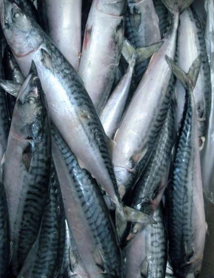 Indian Horse Mackerel fish Fisch-1kg-Tukwila online Market in Germany