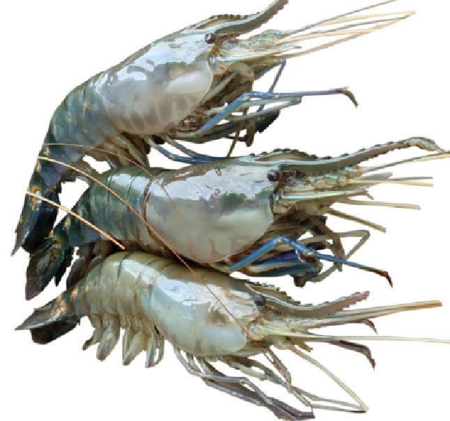 Golda-prawn-gernelen-shrimpChingri-fish-1