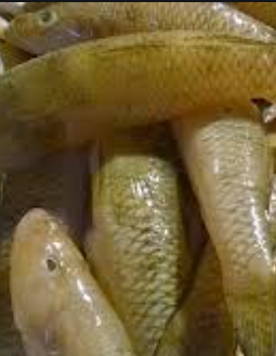 Bele Sandy Goby fish, tukwila online market in Germany