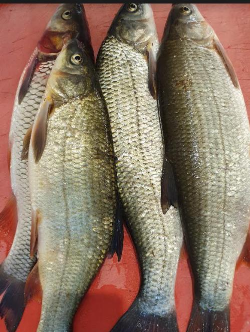 Taja-Rui-Ruhu-Rohu-Fisch-Fish-Tukwila Online Market