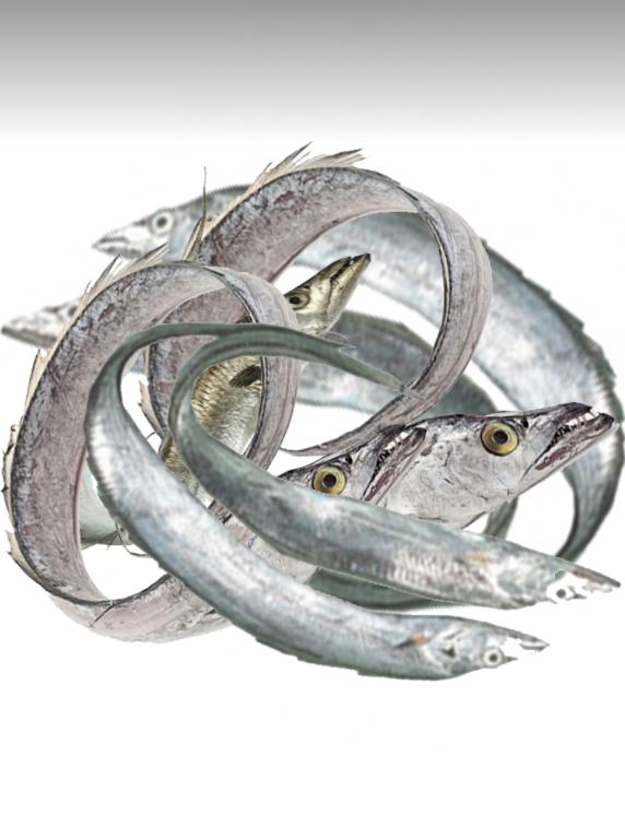 Bain Churi mach Ribbonfish Silver belt Fisch_1_ Tukwila Online Market in Germany