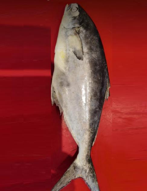 California Pomfret Butterfisch Rupchanda Fish Fisch_2-Tukwila Online Market in Germany